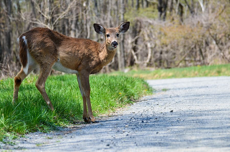 How to Drive Safely During Peak Deer Collision Season